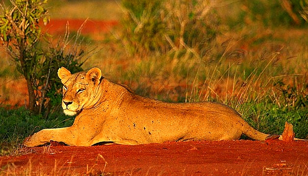 Tsavo East Lion